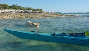 00-Pig Swimming out to Kayak
