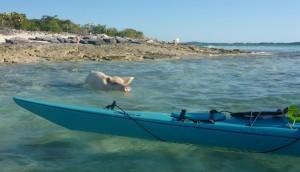 00-Pig Swimming out to Kayak